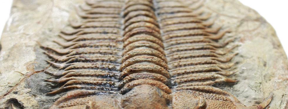 Damesella paronai trilobite on sale Cambrian china