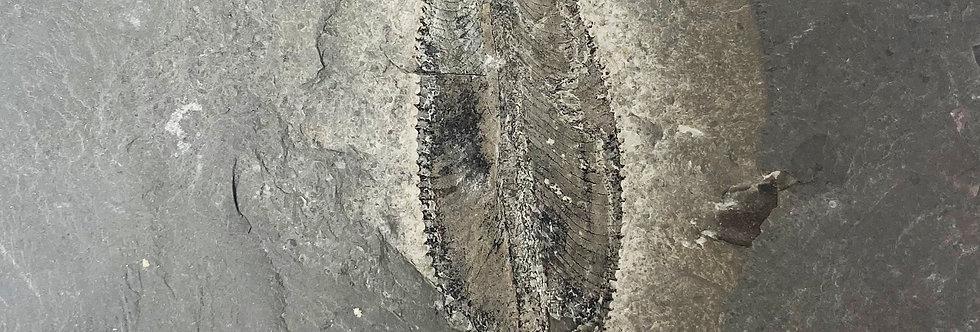 Monster Ordovician Graptolite Phyllograptus archaios Utah Fossil