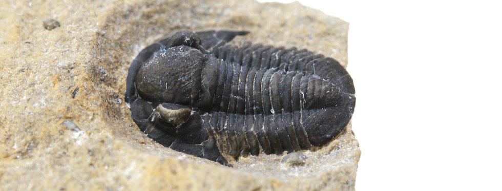 Rare Devonian trilobite Gerastos hamii (Gibb & Chatterton, 2010)