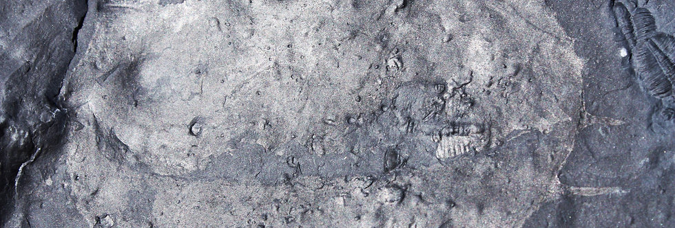 Tuzoia guntheri? (Robison, 1981)