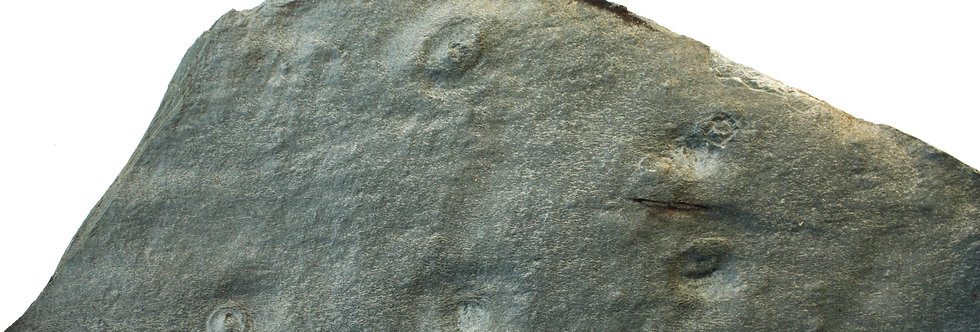 Vendian disk-shaped fossil Aspidella sp.