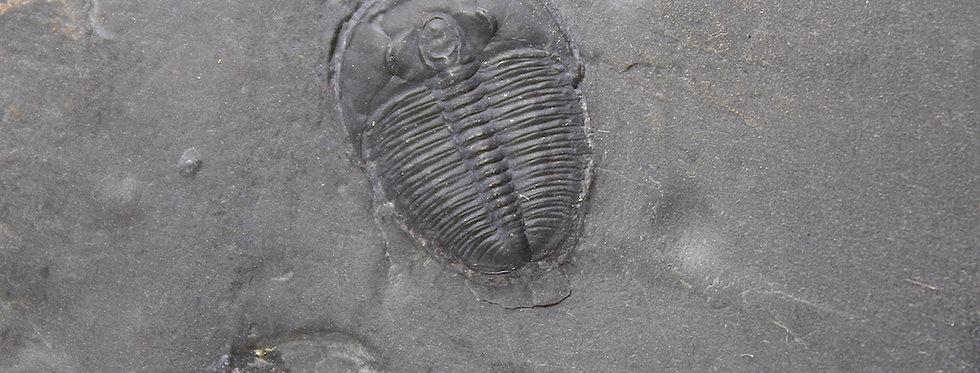 Cambrian trilobite Elrathia kingii prepared by trilobiti.com