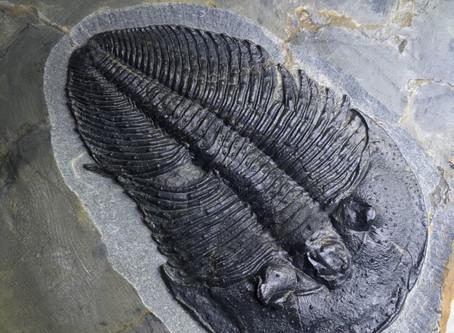 Preparazione Paleontologica di un trilobite Cambriano Altiocculus drumensis (Sundberg, 1994)