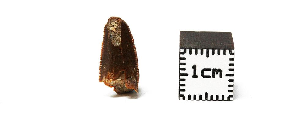 Carcharodontosaurus sp. (Stromer, 1931) juvenile