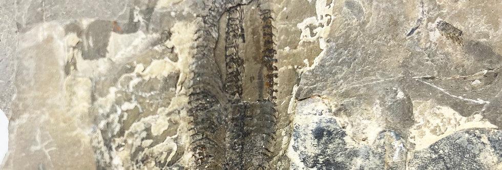 Phyllograptus for sale ordovician Utah