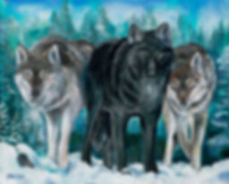 Winter wolves approach with caution and boldness their yellow eyes gleaming and breath steaming in the cold Ely, MN winter.