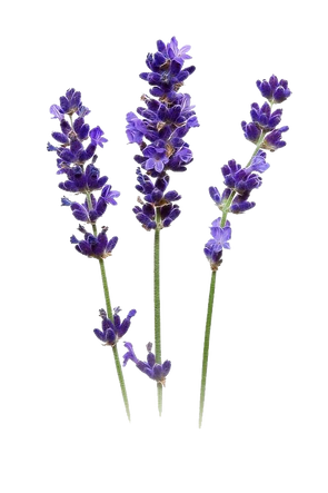 Lavender, Purple, Fresh PNG and Vector w