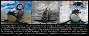Orca Dorsal Fin Controversy – Experts vs. SeaWorld