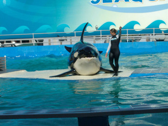 A Big Day for Lolita, Now Included in Endangered Species Ruling of Southern Resident Killer Whales