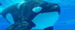 ADVOCATING CAPTIVE ORCA RETIREMENT