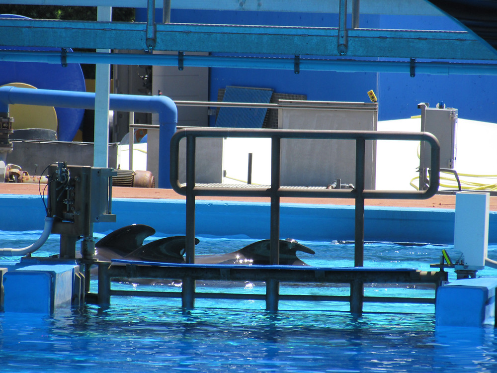 Three of four of the pilot whales with noticeable collapsed dorsal fins.  Photo by Heather Murphy/Ocean Advocate News
