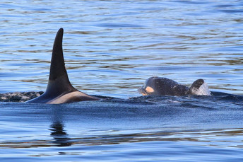 New Southern Resident Killer Whale Birth Surrounded in Mystery