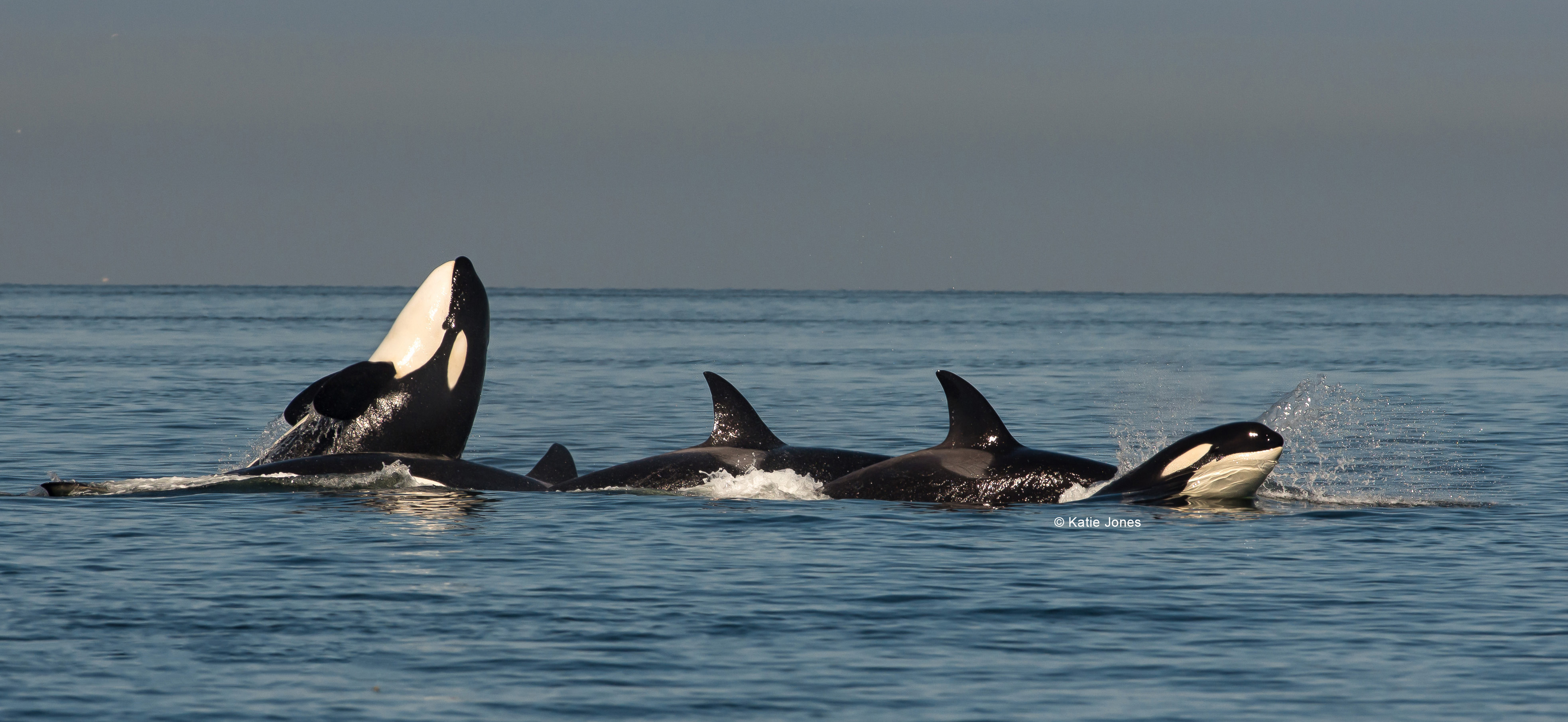 SOUTHERN RESIDENT KILLER WHALES