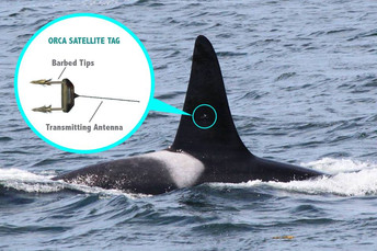 Are Satellite Tags Helpful or Harmful for Southern Resident Killer Whales?