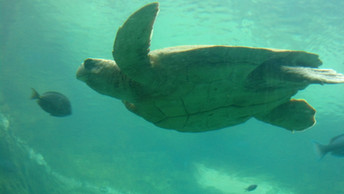 Kemp's Ridley Sea Turtles Rehabbed All Over Florida