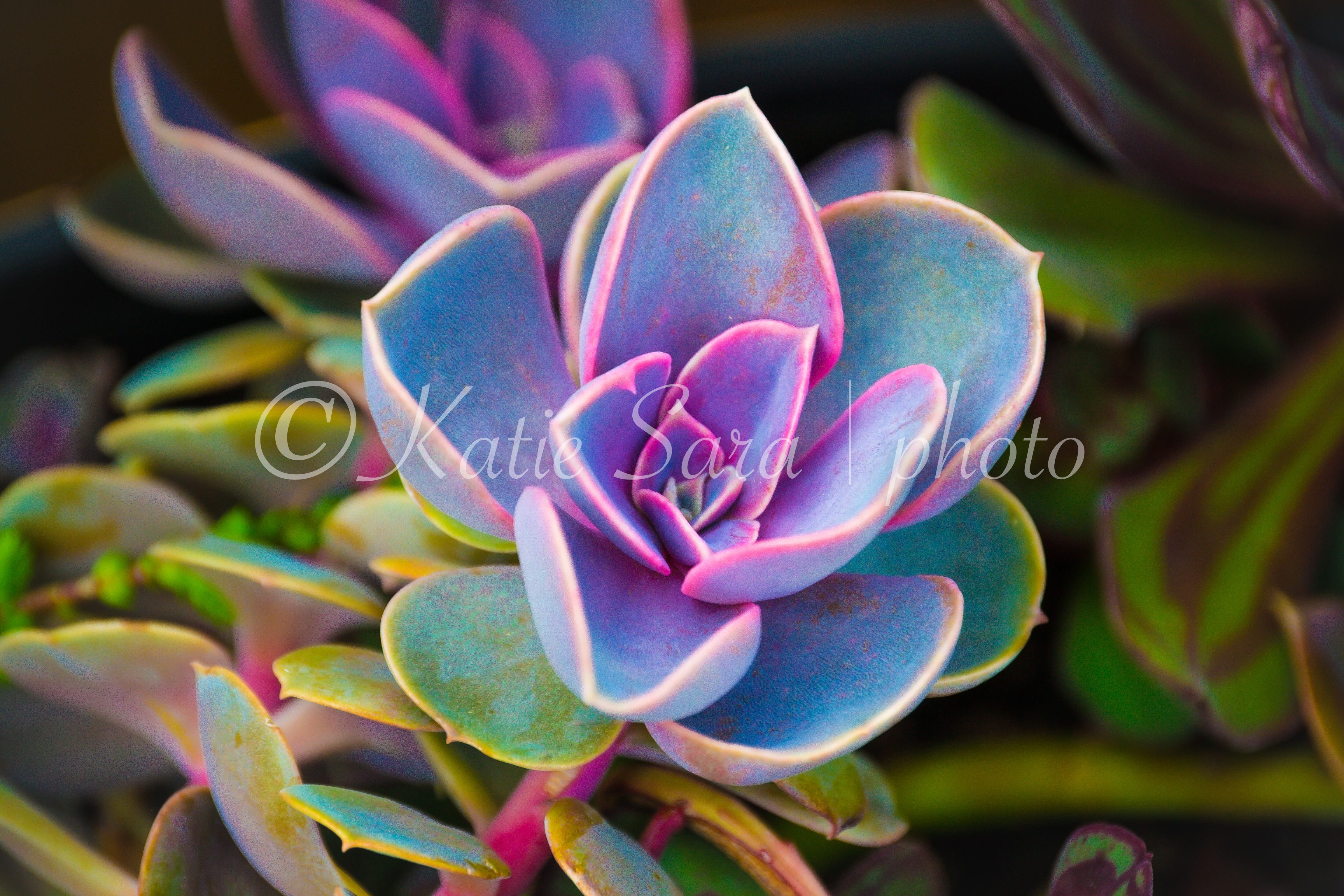 Succulents III