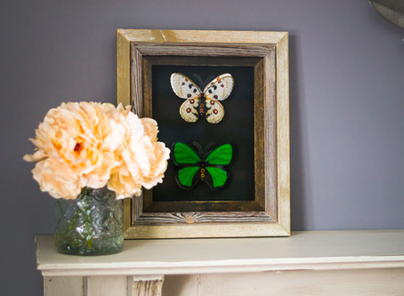 DIY Dollar Store Butterfly Taxidermy
