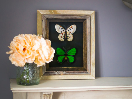 DIY Dollar Store Butterfly Taxidermy