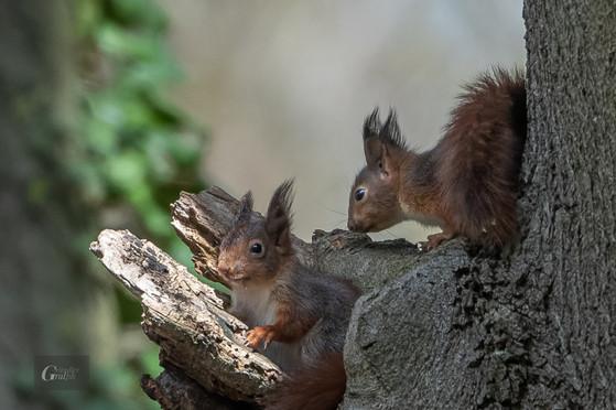 Junge Eichhörnchen vor dem Nest