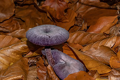 Violetter Lacktricherling