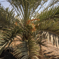 medjool palm tree