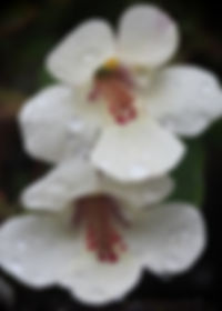 Monkey Flower 2.JPG