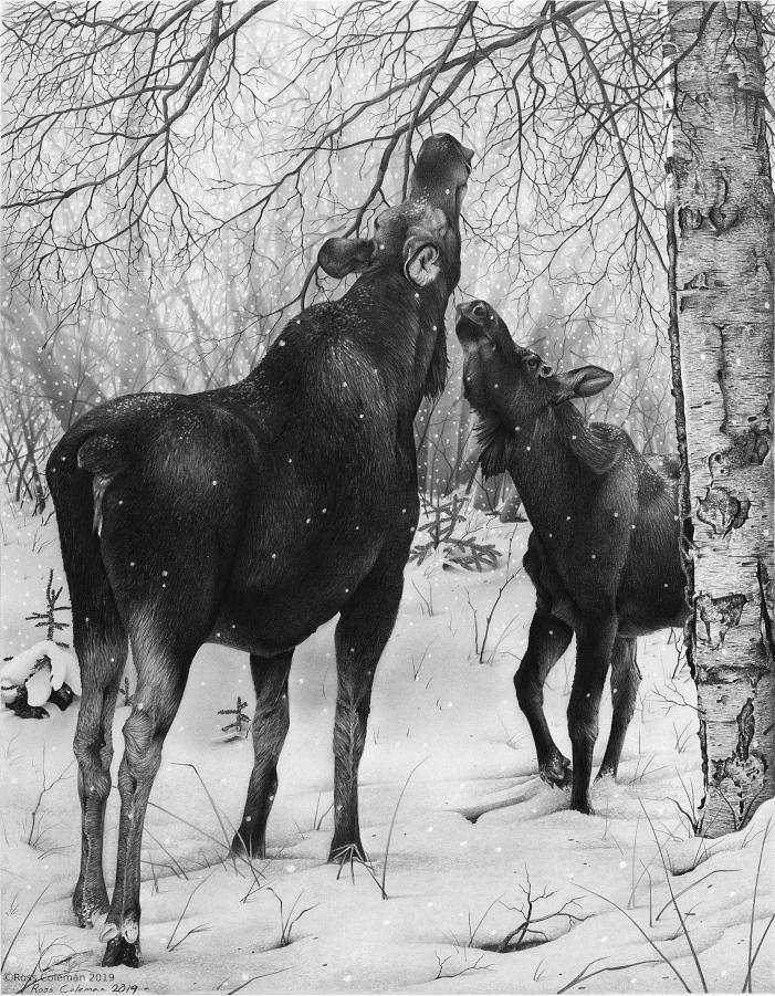 Moose With Calf 25% 72dpi.png