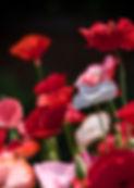 Paper Poppy 3.jpg
