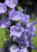 Purple Bell Flowers.JPG