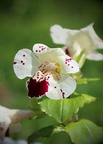 Monkey Flower 3.JPG