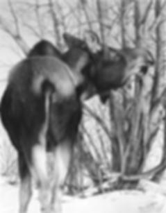 Moose Eating Willows 25% 72dpi.png