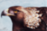 Golden Eagle 25% 72dpi.png