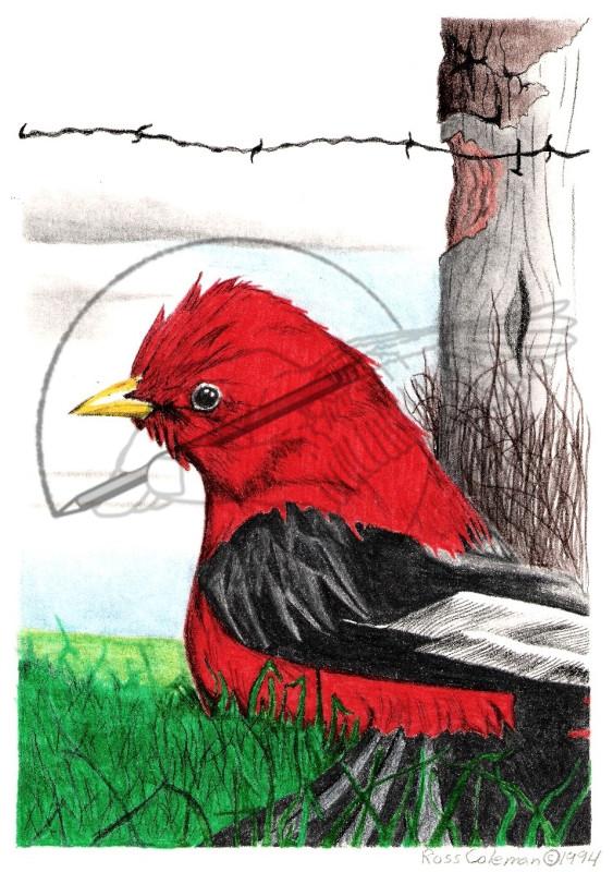 red robin '94.jpg