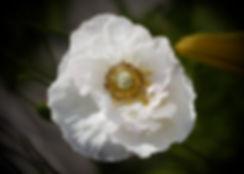 Paper Poppy 2.jpg
