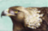 GoldenEagle 72dpi 25%.PNG