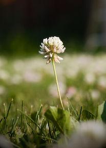 Clover Blossom.jpg