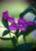 Dianthus Purple.jpg