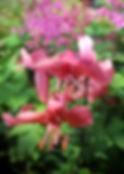 Pink Lilly.JPG