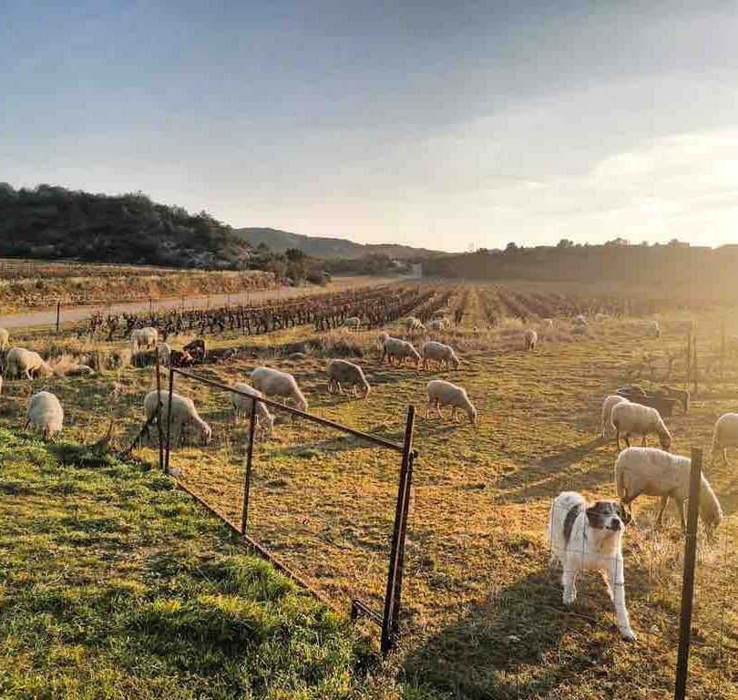 Ecopaturage dans le Gard