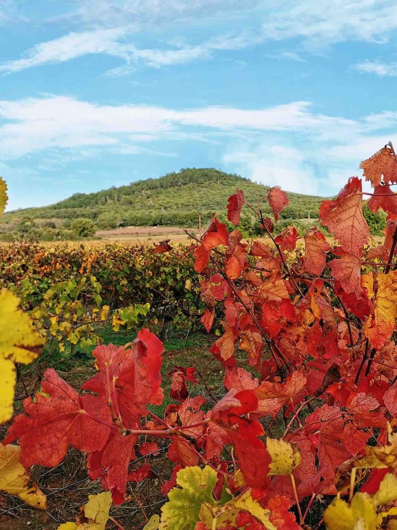 Dans les vignes à Uzès