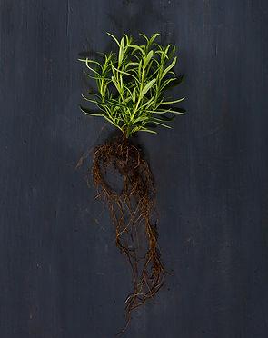Rosemary 72dpi.jpg