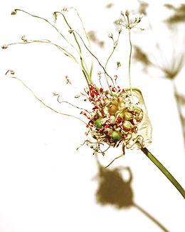 Allium Cepa Instag.jpg