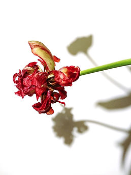 Tulipa Estalla.jpg