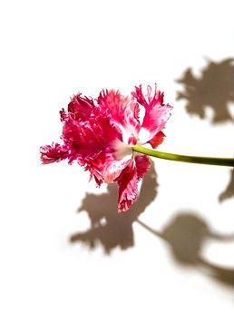 Tulipa Rembrandt Instag.jpg