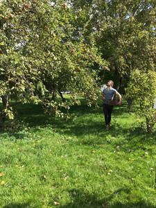 Cranes Cider Apple Harvest.JPG