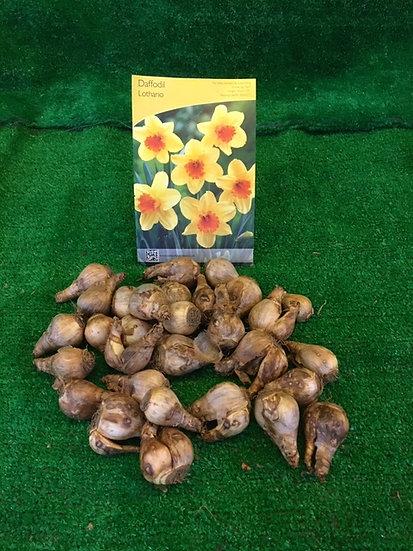 Daffodil Lothario (x30)