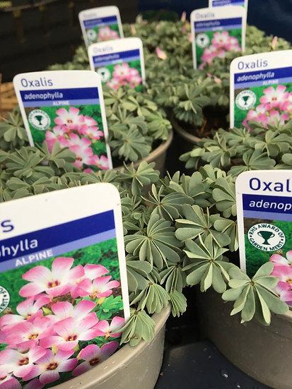 Oxalis £2.49
