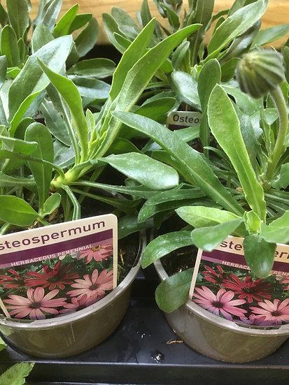 Osteopernum £2.49