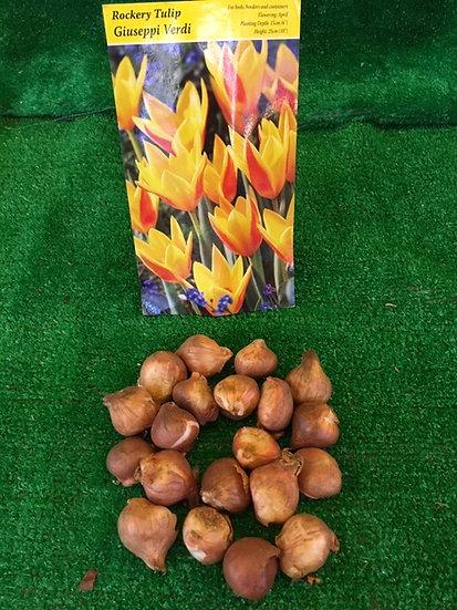 Tulip- Giuseppi Verdi (x20)