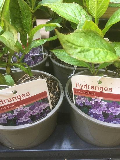 Hydrangea £2.49